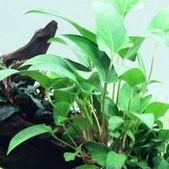 Anubia Gracilis plante pour quarium en pot