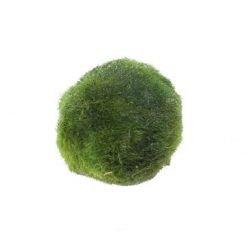 Cladophora aegagropila moss ball pour aquarium