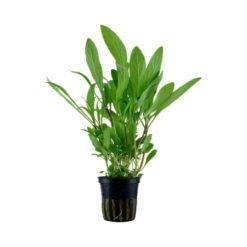 hygrophila costata plante aquarium