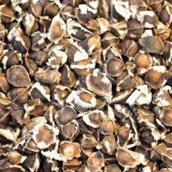 graine de moringa oleifera
