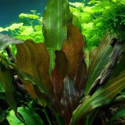 echinodorus reni plante aquarium