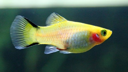 Platy jaune poisson aquarium