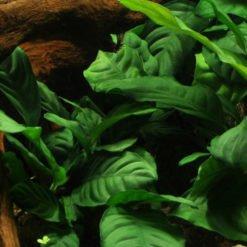 Anubias barteri Coffeefolia plante pour aquarium