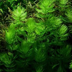 Ceratophyllum demersum Foxtail plante aquarium