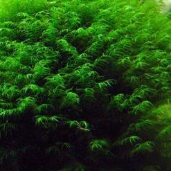 Fissidens fontanus mousse aquarium