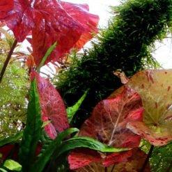 Nymphaea lotus plante aquarium