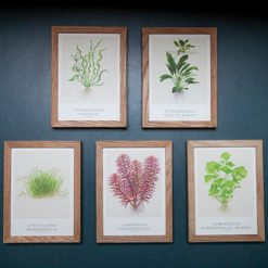 Tropica cartes d'art lot 2 echinodorus