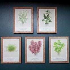 Tropica cartes d'art lot 2 echinodorus
