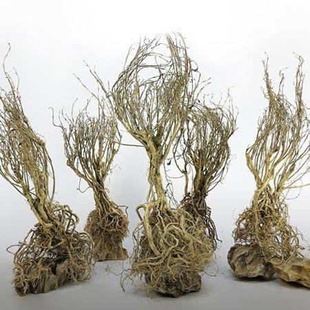 racine willow tree