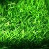 Lilaeopsis brasiliensis plante aquarium