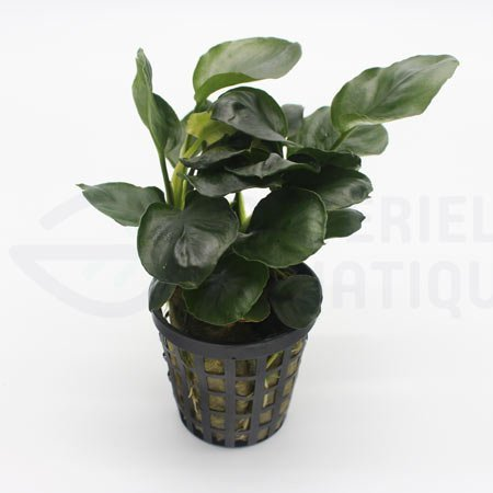 Anubias round leaf golden coin plante pour aquarium anubias coin leaf