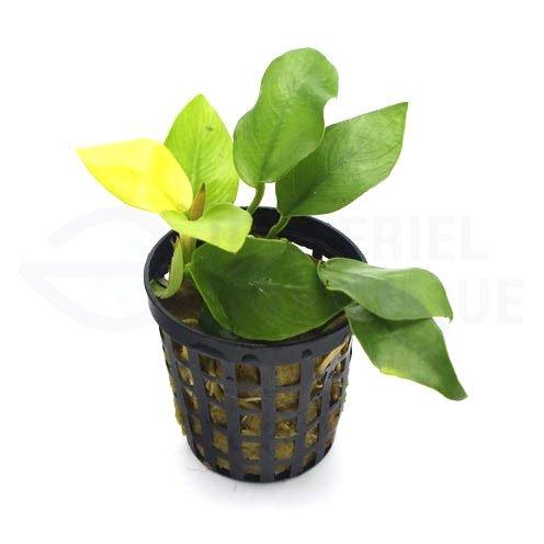 Anubias sp Gold nana golden plante aquarium