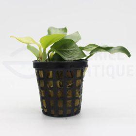 Anubias sp Gold plante aquarium