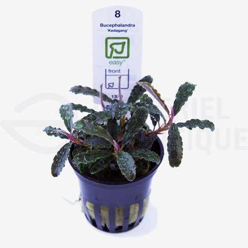 Bucephalandra Kedagang plante aquarium