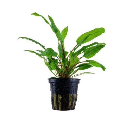Cryptocoryne wendtii green tropica plante aquarium