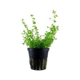 hemianthus micranthemoides tropica plante aquarium