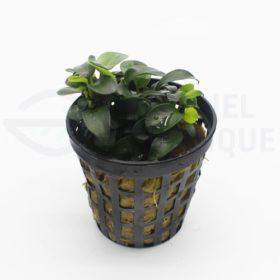 Anubias sp Mini plante aquarium