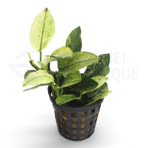 Anubias sp white anubias pinto plante aquarium