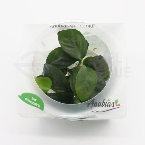 Anubias sp nangi plante aquarium
