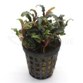 Bucephalandra sp Biblis plante aquarium
