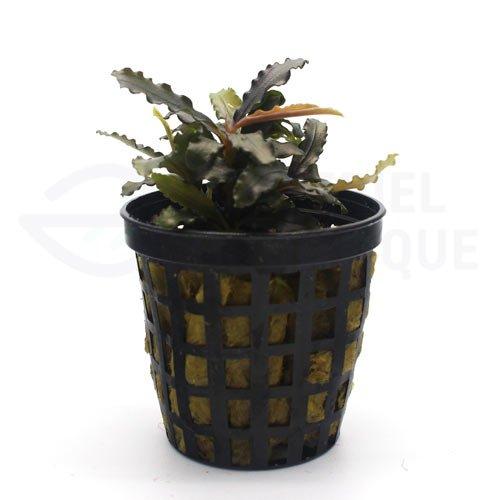 Bucephalandra sp lamandau purple plante aquarium