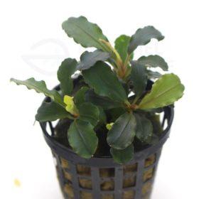 Bucephalandra sp theia plante aquarium