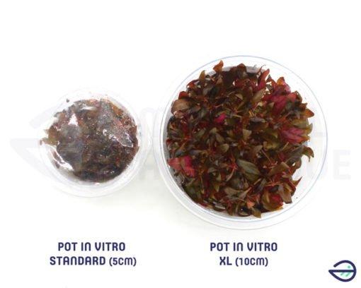 Alternanthera sp mini in vitro différence in vitro XL