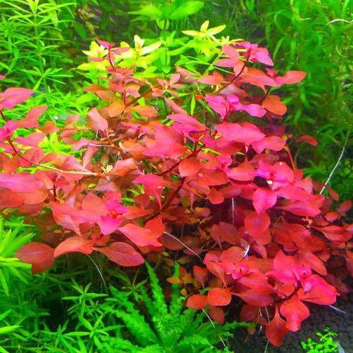 Ludwigia Mini Super Red in vitro