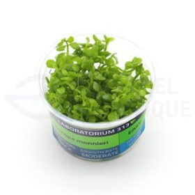 Bacopa Monnieri plante in vitro aquarium laboratorium 313