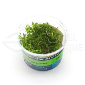 Ludwigia Arcuata plante in vitro aquarium laboratorium 313