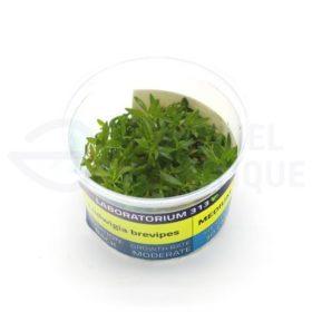 Ludwigia Brevipes plante in vitro aquarium laboratorium 313