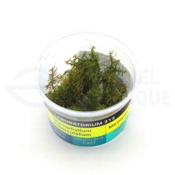 Myriophyllum Tuberculatum plante in vitro aquarium Laboratorium 313