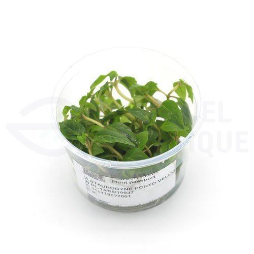 Staurogyne Porto Velho plante in vitro aquarium laboratorium 313