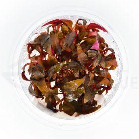 Alternanthera sp mini in vitro