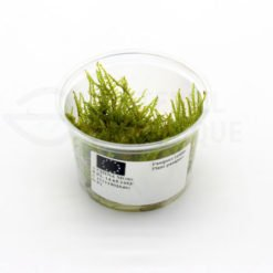 China Moss plante in vitro aquarium laboratorium 313