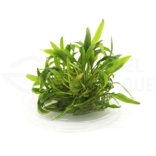 Cryptocoryne Affinis plante in vitro aquarium laboratorium 313