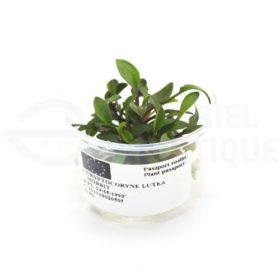 Cryptocoryne Lutea Hobbit plante in vitro aquarium laboratorium 313