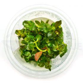 Ludwigia Repens in vitro