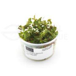 Ludwigia Repens plante in vitro aquarium laboratorium 313