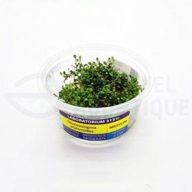 Glossostigma elatinoides xl in vitro laboratorium 313 plante aquarium