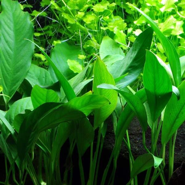 Anubias barteri angustifolia plante aquarium