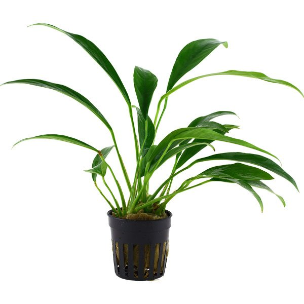 Anubias barteri angustifolia