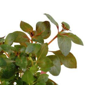 Ludwigia Repens Rubin plante aquarium Tropica