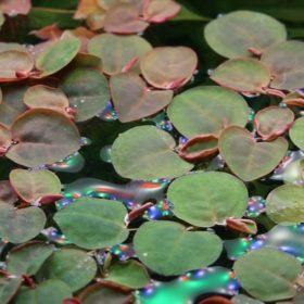 plante flottante Phyllanthus fluitans in vitro