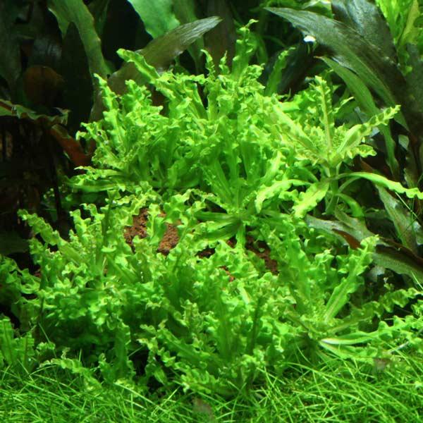 Pogostemon helferi Tropica plante aquarium