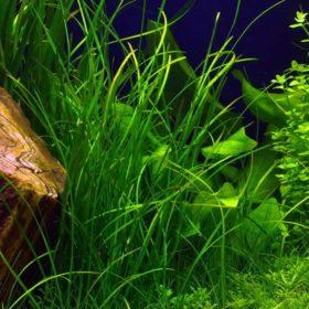vallisneria nana plante aquarium