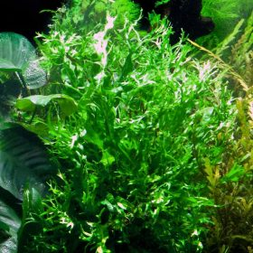 Microsorum pteropus windelov plante aquarium tropica