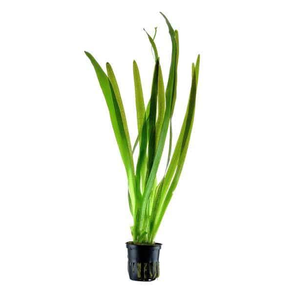 vallisneria gigantea americana plante aquarium tropica