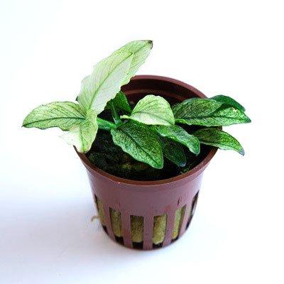 anubias nana pinto plante aquarium