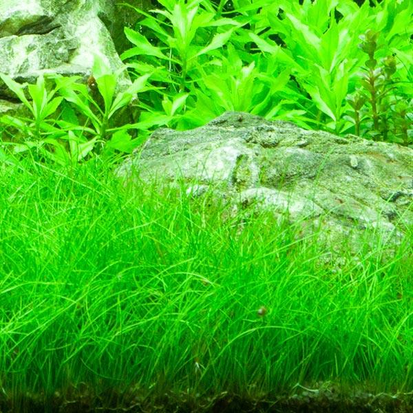 Eleocharis Parvula plante aquarium tropica